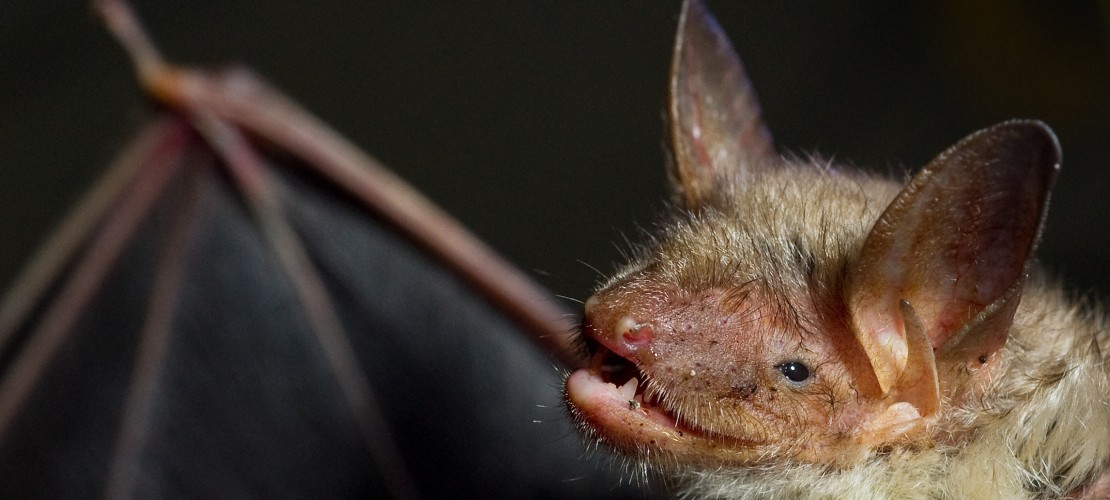 Was haben Fledermäuse und Vampire gemeinsam?