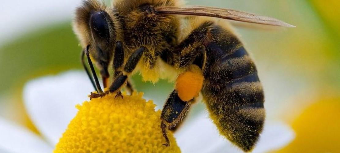 Eine Biene hat mehr Haare und ist flauschiger als eine Wespe. (Foto: dpa)