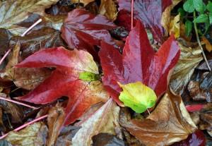 Der rote Farbsoff schützt die Blätter vor dem Sonnenlicht. (Foto: dpa)