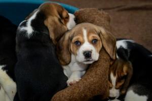 Bei reinrassigen Hunden muss man gut aufpassen. (Foto: dpa)