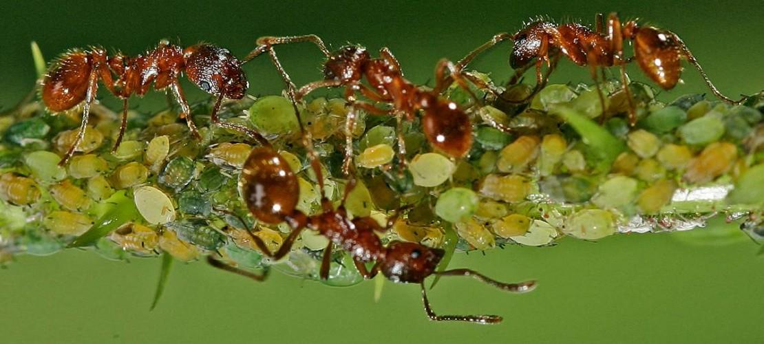 Ameisen machen sich über Blattläuse her und melken sie. (Foto: dpa)