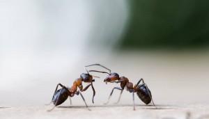 Ameisenmännchen werden nur aufgezogen, um sich mit der Königin zu paaren. (Foto: dpa)