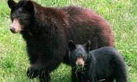 Braunbären leben vor allem in Wäldern, aber auch in den weiten Graslandschaften hoch im Norden. (Foto: dpa)