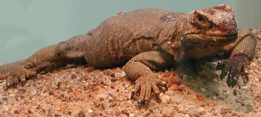 Chickwallas mögen es trocken und heiß. Sie leben in Wüstengebiet in Amerika. (Foto: Wikimedia Commons)