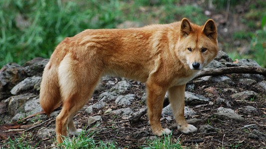 "Dingos sind die Wölfe Australiens. (Foto: ""Canis lupus dingo - cleland wildlife park"" von Peripitus - Eigenes Werk. Lizenziert unter CC BY-SA 3.0 über Wikimedia Commons - https://commons.wikimedia.org/wiki/File:Canis_lupus_dingo_-_cleland_wildlife_park.JPG#/media/File:Canis_lupus_dingo_-_cleland_wildlife_park.JPG)"