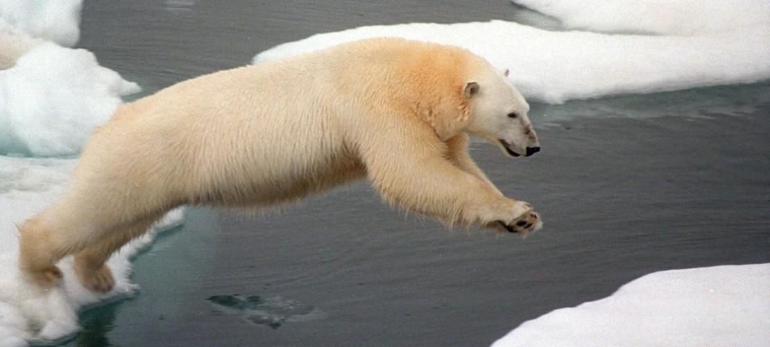 Der Klimawandel sorgt dafür, dass den Eisbären der Boden unter den Füßen wegschmilzt. (Foto: dpa)