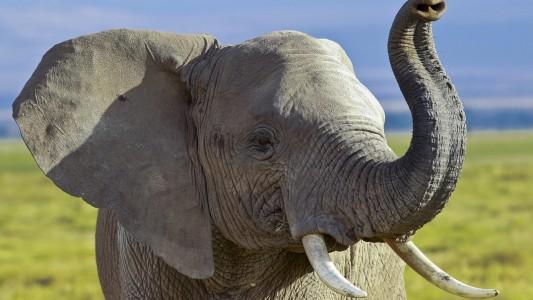 Typisch für Elefanten ist natürlich ihr langer Rüssel. Mit dem können sie Essen greifen und in ihr Maul schieben. (Foto: dpa)