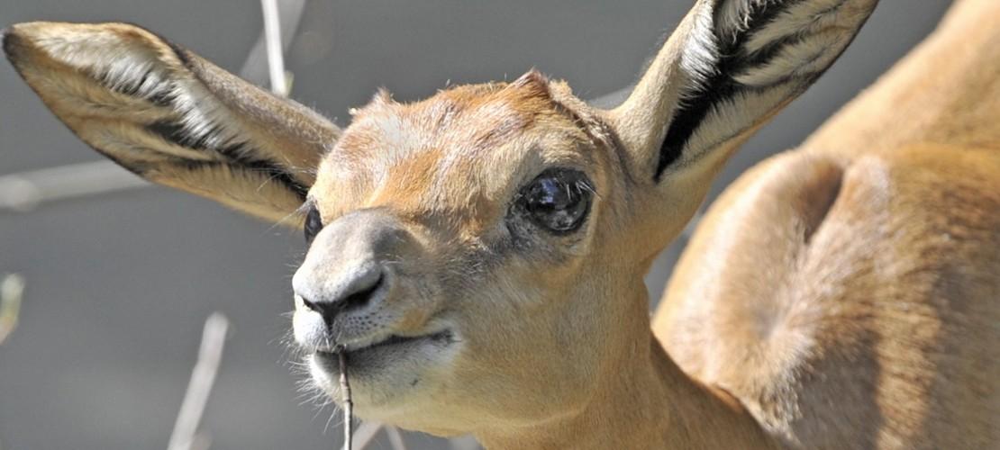 Am besten schmecken der Gazelle Gräser, Blätter und Kräuter. (Foto: dpa)