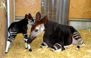 Okapis sind meistens Einzelkinder. (Foto: dpa)