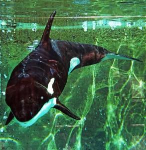 Orcas sind geschickte Jäger.