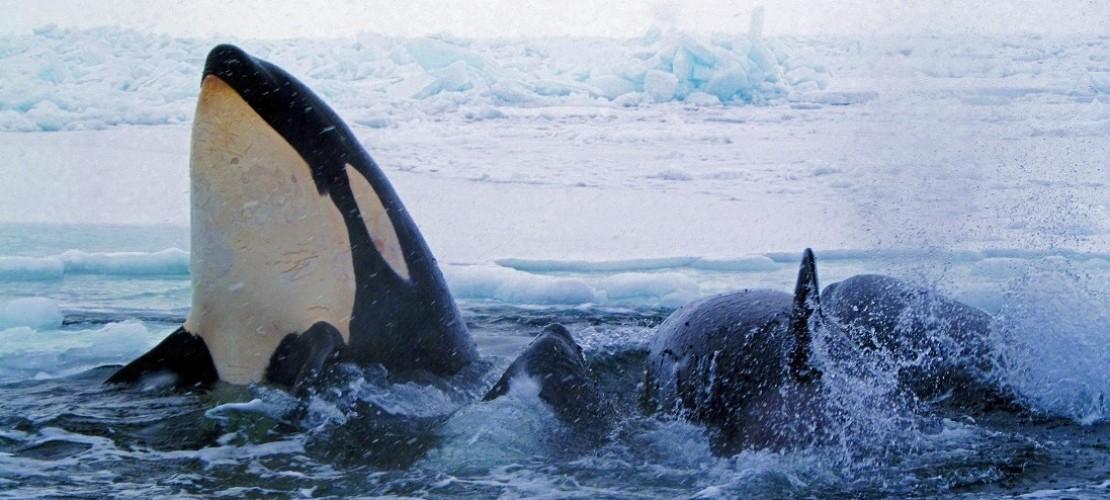 Orcas: Könige der Meere
