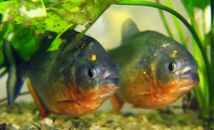 Die Fische werden ganz schön alt. (Foto: dpa)