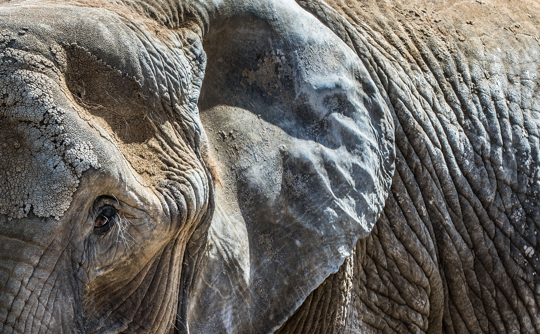 Haben Elefanten Zähne
