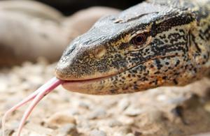 Warane haben eine gespaltene Zunge. (Foto: dpa)
