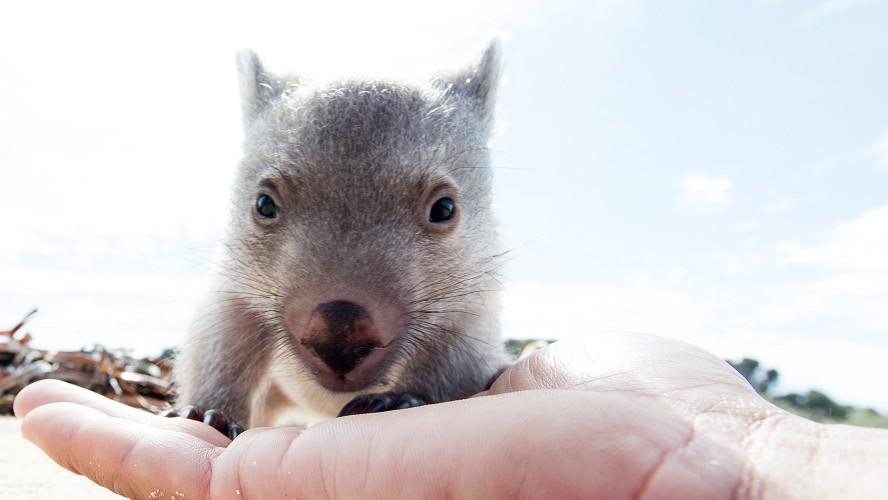 Wombat Reproduction