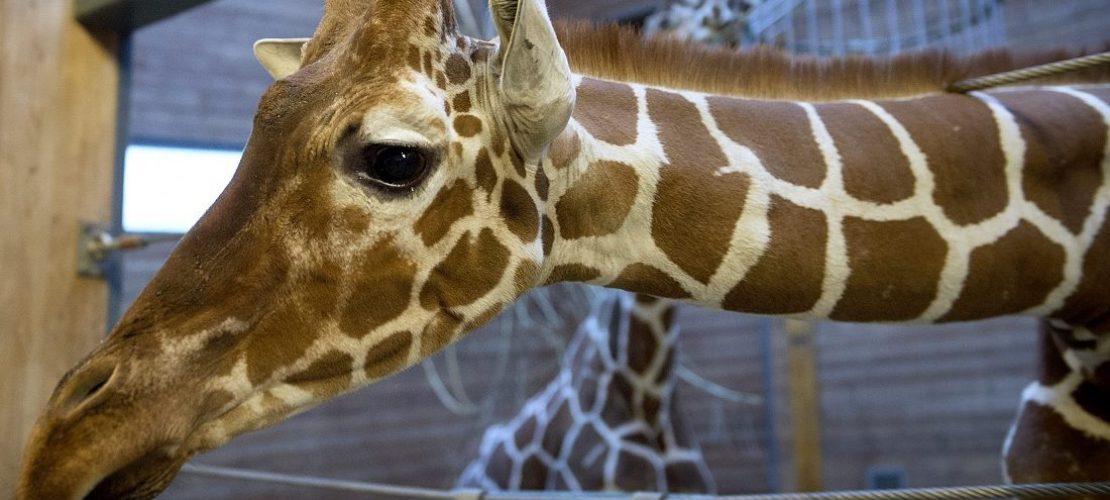 Warum sind Giraffen-Hälse so lang?