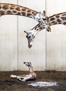 Giraffen haben einen besonderen Bauplan. (Foto: dpa)
