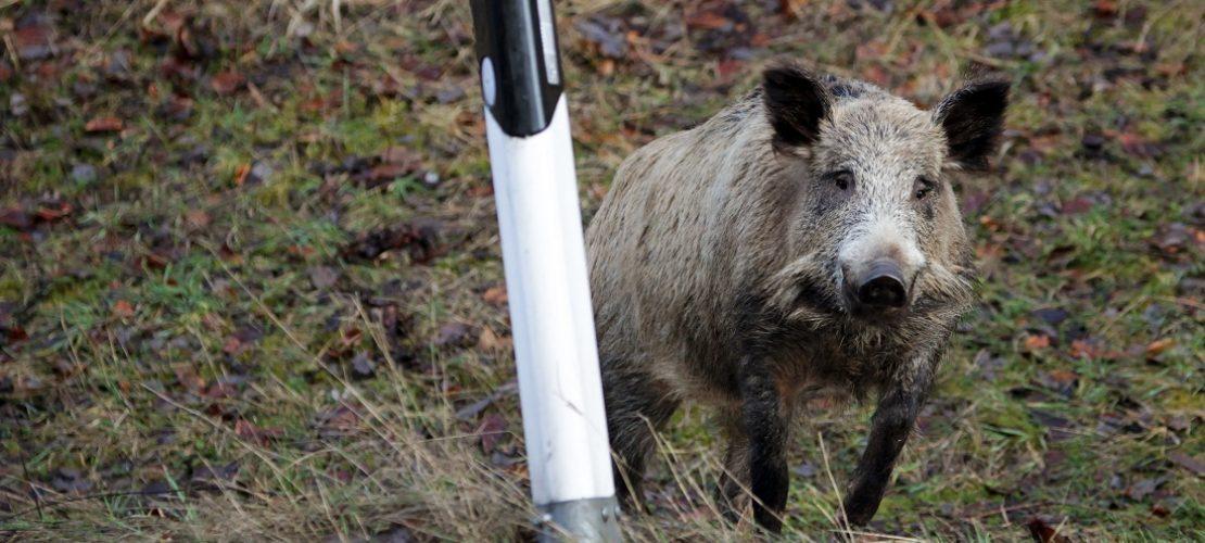 Schweinepest breitet sich aus