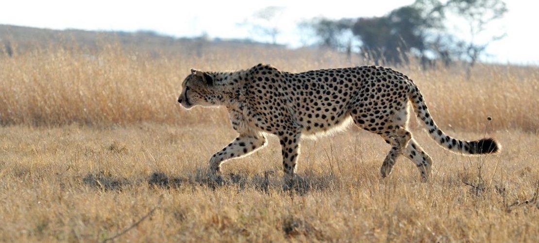 Den Geparden geht es schlecht