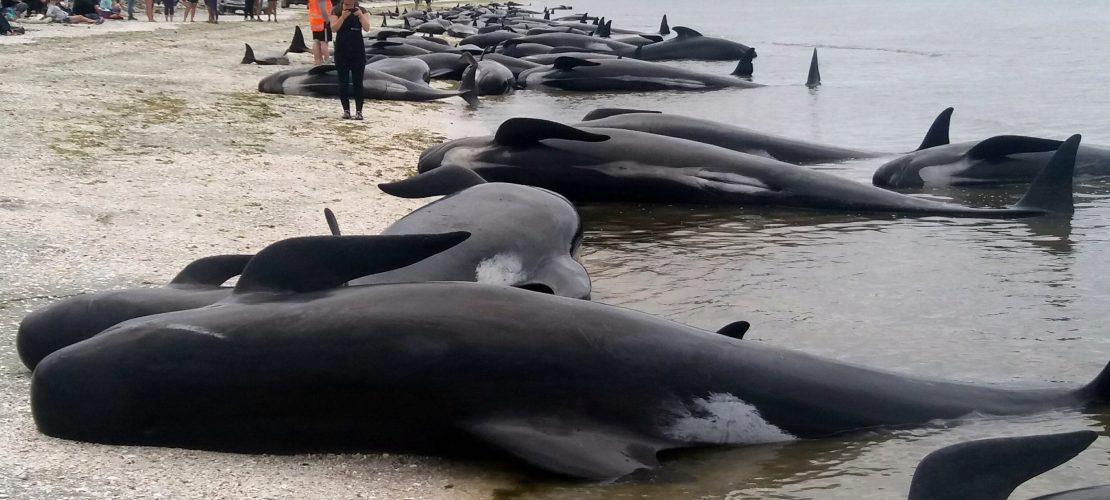 Mehr als 600 Wale gestrandet