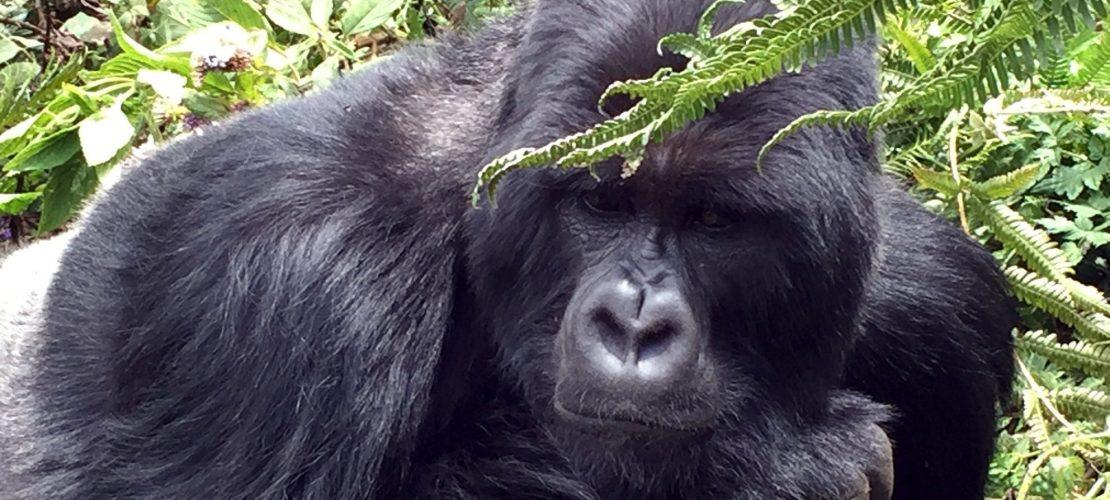 Besuch bei den Gorillas