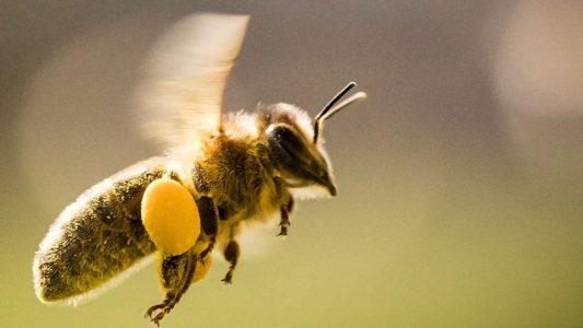 Fleißige Sammler: Honigbienen