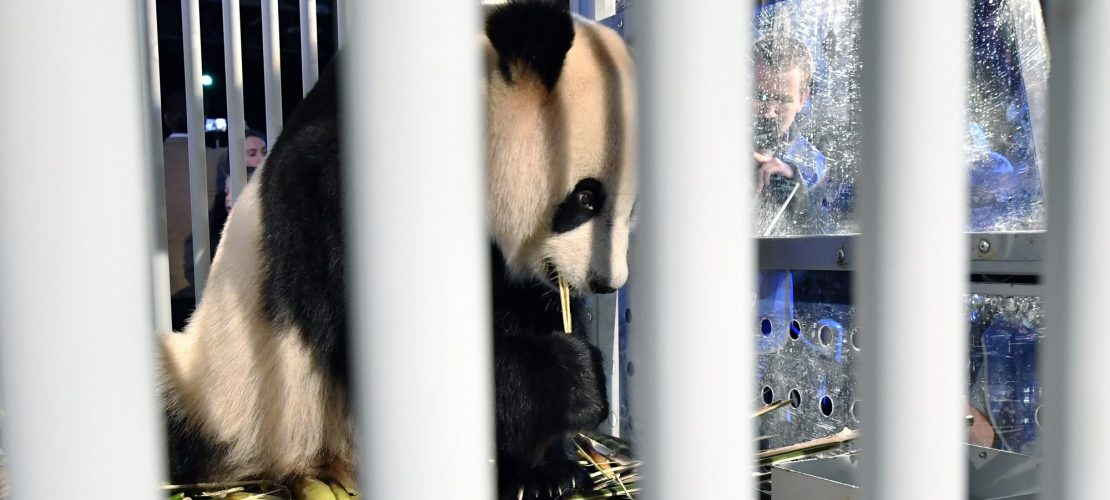 Pandas auf langer Reise
