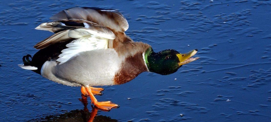 Wie heißen männliche Enten?