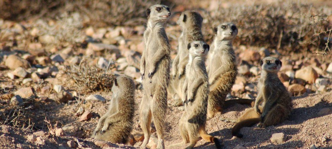 Auf Safari im Erdmännchen-Land
