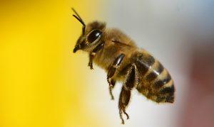 Eine Wildbiene auf dem Weg zu ihrem Bienenstock (Foto: dpa)