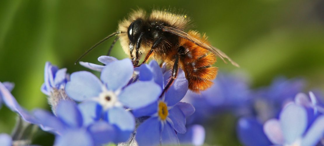 Eine Wildbiene schlürft Nektar aus einer Vergissmeinnicht-Blüte. (Foto: dpa)