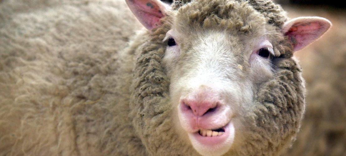 Was ist besonders an Dolly, dem Schaf?