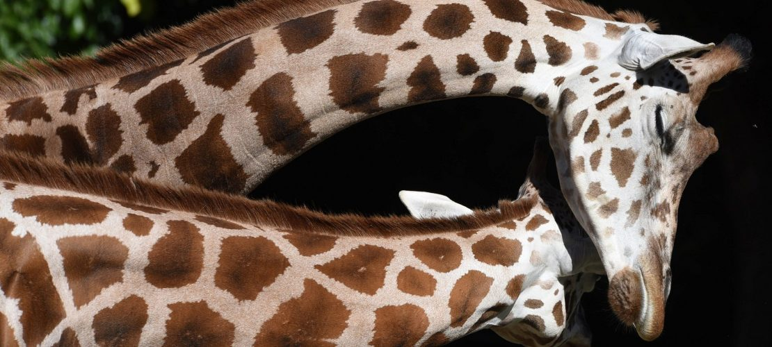 Kuscheln Giraffen gern?