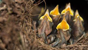 Die kleinen Rotkehlchen haben mächtig Hunger.. (Foto: dpa)