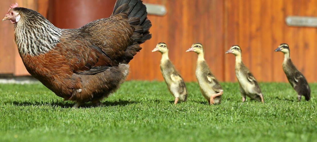 Huhn zieht Entenküken groß