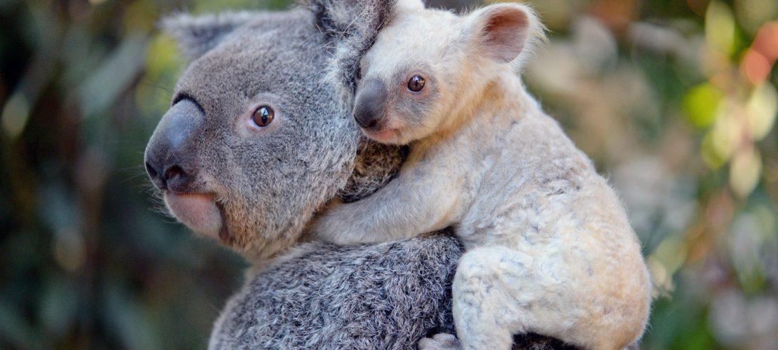 Koala-Baby sucht Namen