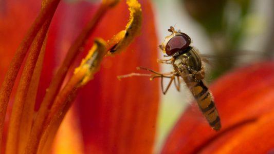 Leicht zu verwechseln: Schwebfliege