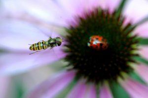 Die Schwebefliege sieht aus wie eine Wespe, ist aber ganz harmlos. (Foto: Federico Gambarini dpa)