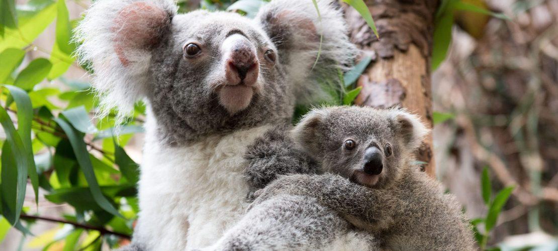 Mehr Fischotter, weniger Koalas