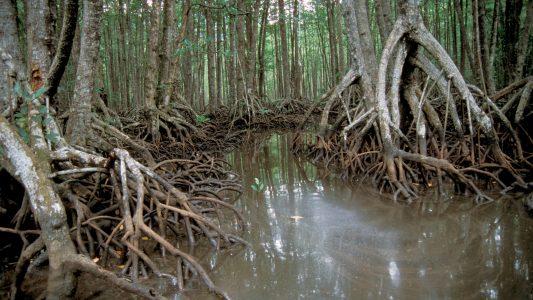 Was sind Mangroven?