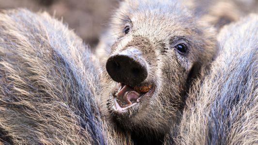 Warum werden jetzt Wildschweine gejagt?