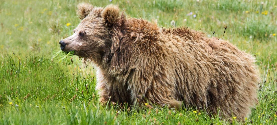 Der Yeti ist wohl nur ein Bär