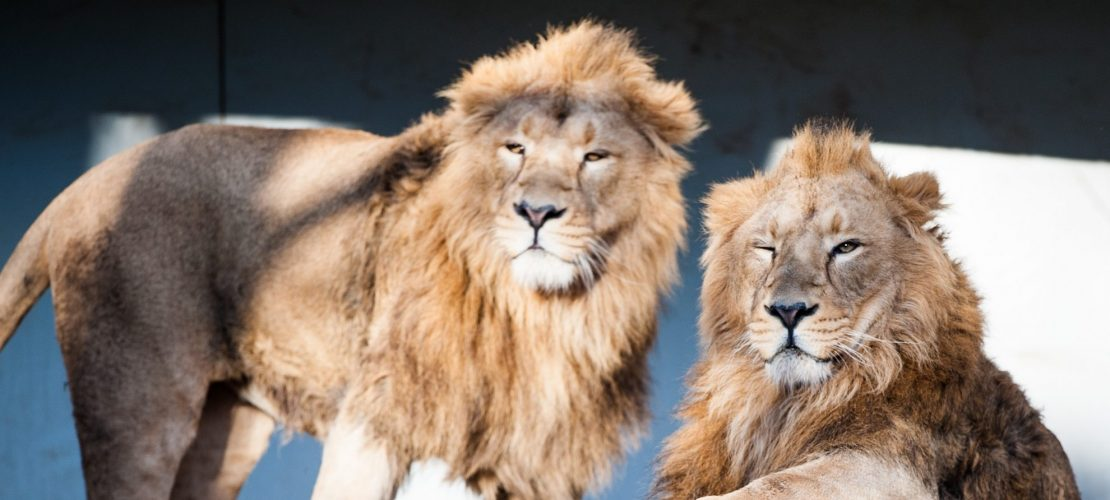 Seltene Löwen