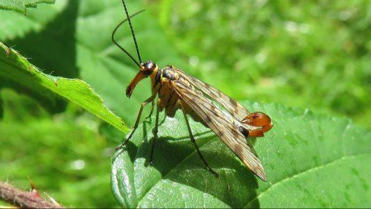 Die Gemeine Skorpionsfliege (Panorpa communis) ist das Insekt des Jahres 2018. Foto: Rainer Willmann/Senckenberg Gesellschaft für Naturforschung/dpa