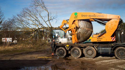 Eine entwurzelte Linde liegt auf einem Spezial-Fahrzeug der auf Baumverpflanzungen spezialisierten Firma Opitz, um an einen neuen Ort verpflanzt zu werden.