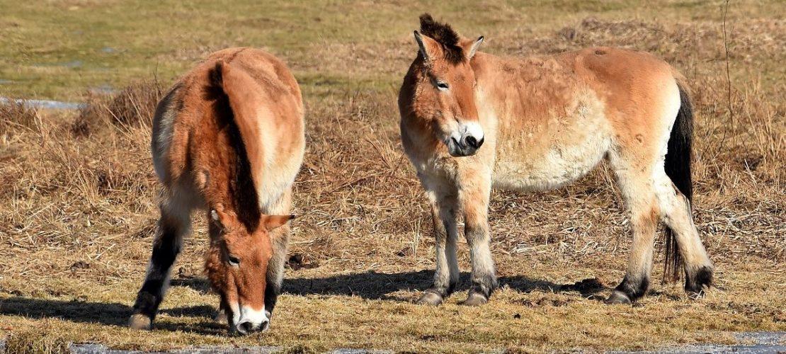 ARCHIV - Przewalski-Pferde im Park Schorfheide, Deutschland, 14. Februar 2017.