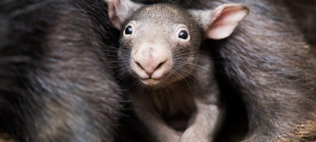 Der kleine Wombat Apari schaut aus dem Beutel seiner Mutter Tinsel. (Foto: dpa)