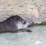 Kinderseite Wie gehen Tiere mit Hitze um im Kölner Zoo. Der Tapir Köln 02.08.2018 Der Tapir lässt es im Wasser ruhig angehen. (Foto: Michael Bause)