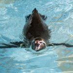Pinguine lieben das kühle Wasser das ganze Jahr über. (Foto: Michael Bause)
