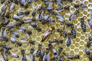 Die Bienenkönigin ist der Mittelpunkt des Volkes. (Bild: Uwe Weiser)